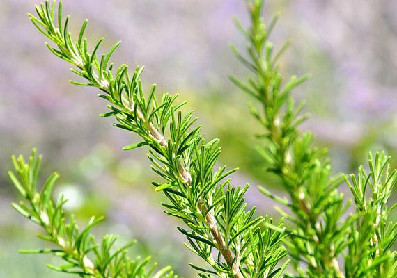 Az illatos fűszernövényt nemcsak mediterrán ételek ízesítésére használhatod, a rozmaringból készült tea a súlyvesztésben is segít. Így készítsd el!