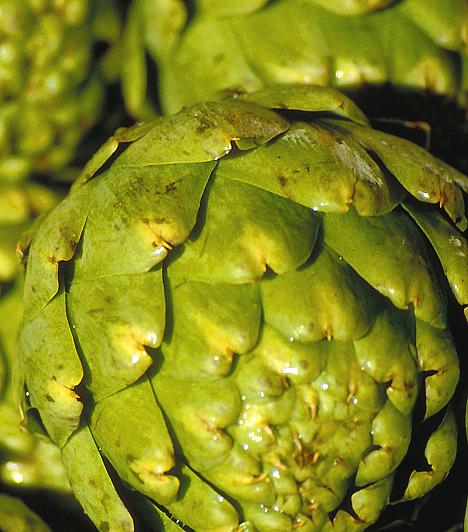ArticsókaA nemes zöldségféle gyógyhatásait régóta nagyra becsülik. Amellett, hogy sokan afrodiziákumnak tartják, tisztítja a vesét, és természetes vízhajtó hatással rendelkezik.