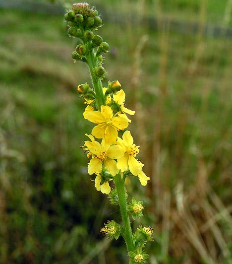 növények a máj méregtelenítésére hatékony tabletták férgek és paraziták ellen