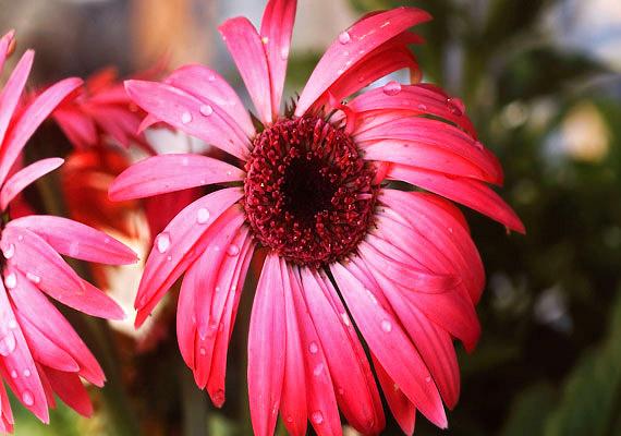 A bíbor kasvirág - Echinacea purpurea - fokozza az immunrendszer aktivitását. Mivel jelentős mennyiségben tartalmaz frukto-oligo-szacharidokat és bélbaktériumokat tartalmazó rostokat, segíti a szervezet méregtelenítő folyamatainak beindulását.