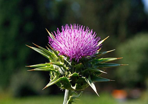 A máriatövis - Silybum marianum - régóta ismert erős májméregtelenítő hatásáról. Fogyaszthatod tea vagy gyógyszertárban, illetve gyógynövényboltban kapható tinktúra vagy kapszula formájában. Tudj meg többet róla!