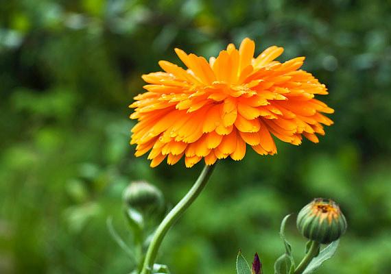 A körömvirág - Calendula officinalis - majdnem minden talajban eléldegél, kivéve a túlságosan vizeset. A magokat 30 centiméter távolságra ültesd egymástól, helyezd napfényes helyre. Ha elvirágzott, csípd le a virágfejeket - így állandóan virágzik majd. Méregtelenítő, gyulladáscsökkentő hatását így használhatod ki!