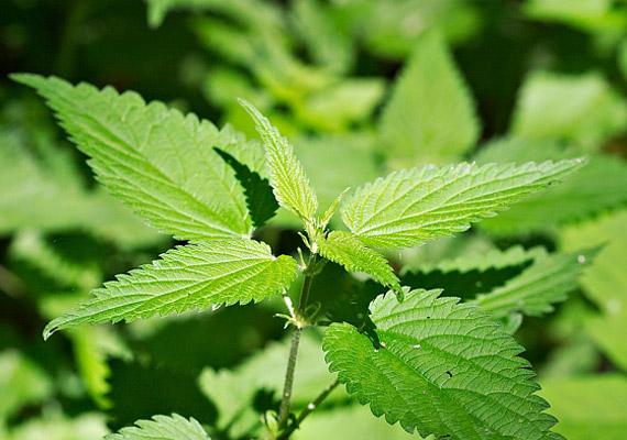 A csalántea olyan erős méregtelenítő, vértisztító és vízhajtó hatású, hogy még az enyhébb allergiás tüneteket is képes enyhíteni.