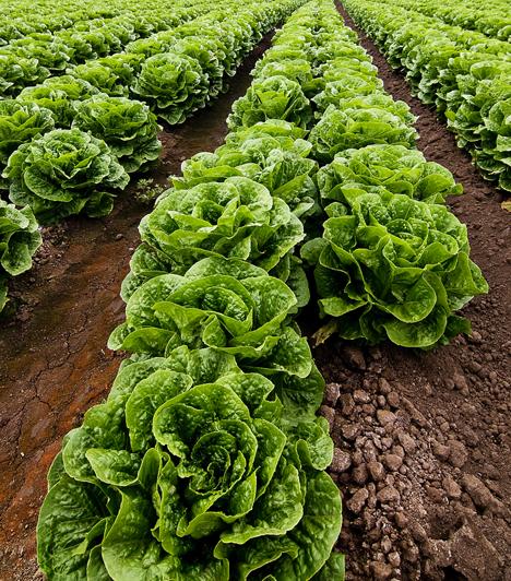 Fejes salátaRostjainak, vitaminjainak, ásványi anyagainak és alacsony kalóriatartalmának köszönhetően a saláta a fogyókúrás étrendek elengedhetetlen eleme. A legjobb, ha az esti órákban a nehezebb ételeket helyettesíted vele, és minél több negatív kalóriás zöldségfélével kombinálod.Kapcsolódó cikk:4 salaktalanító saláta »