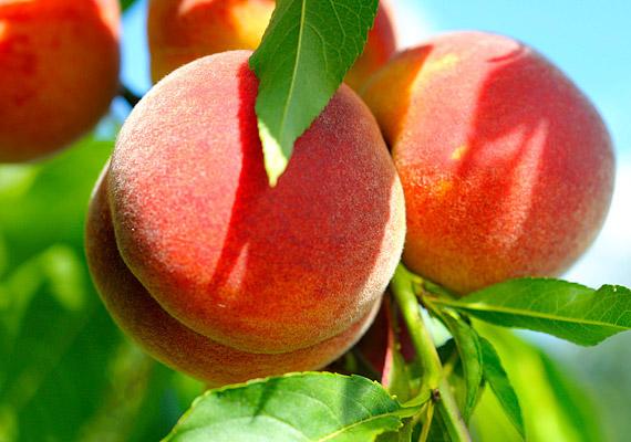 Az őszibarack neve becsapós, hiszen a lédús gyümölcs már július-augusztustól érik. 85-90%-a víz, ráadásul alacsony kalória- és szénhidráttartalommal bír. A benne lévő rostoknak és pektinnek köszönhetően fogyasztásával gyorsíthatod az anyagcserét, átmoshatod a bélrendszert, megszüntetheted a puffadást. Célszerű két-három órával étkezés után fogyasztani, hogy a gyomor a könnyen emészthető barackra összpontosíthasson. Ideális tízórai és uzsonna lehet belőle: napi kettő-négy szem barackot érdemes beiktatnod az étrendedbe. Tudd meg, még mire jó!
