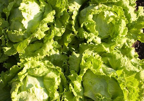 A jégsaláta vagy a fejes saláta abszolút fogyókúrabarát táplálék. Fogyaszthatod köretként csirkehús vagy hal mellé, de alapja lehet szinte bármilyen salátának. Rosttartalma révén serkenti az emésztést, emellett eltelít, és a salakanyagok eltávolítását is felgyorsítja.
