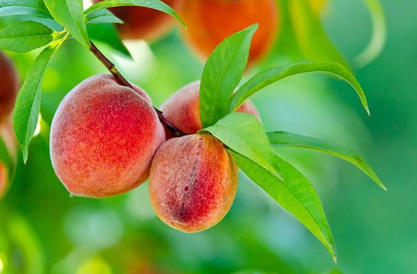 őszibarack-sárgabarack gyógynövény fogyókúrás tea yams segít a fogyásban