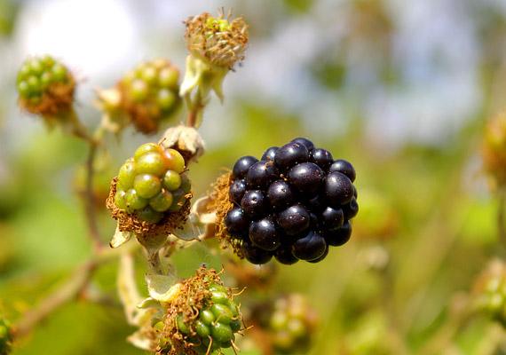 A feketeszeder magas rost- - 4 gramm/100 gramm - és gyümölcssavtartalmának köszönhetően felpörgeti az anyagcserét, serkenti az emésztés folyamatát. Számos zsírégető vegyületet is tartalmaz, így például gazdag C-vitaminban, de van benne B1- és B6-vitamin is - amelyek szerepet játszanak a szénhidrátok és zsírok lebontásában. Tudj meg többet róla!