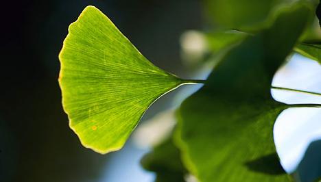 gyógynövény fogyókúra tea senna levelek)