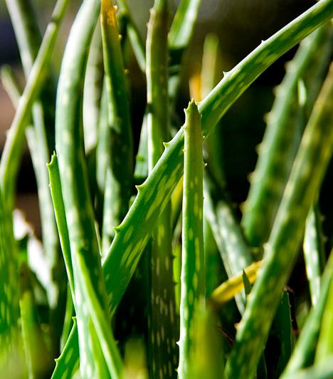 Aloe veraAz ehető aloe vera páratlan gyógynövény, mely rostjai, aminosavai, vitaminjai és ásványi anyagai révén egész testedet formában tartja. A leveleiből nyert gél fogyasztásával mindemellett lelassult emésztésedet is felgyorsíthatod, illetve kiűzheted a bélrendszeredet károsító salakanyagokat. A gélt reggelente, éhgyomorra, hűtve fogyaszd.