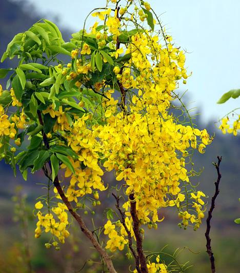 SzennalevélA szenna szárított leveléből készült főzettel rövid időn belül felgyorsíthatod emésztési folyamataidat. Az eredetileg Kelet-Indiából származó gyógynövény értékes flavonoidokat is tartalmaz, melyekkel megakadályozhatod az oxidatív folyamatok beindulását.