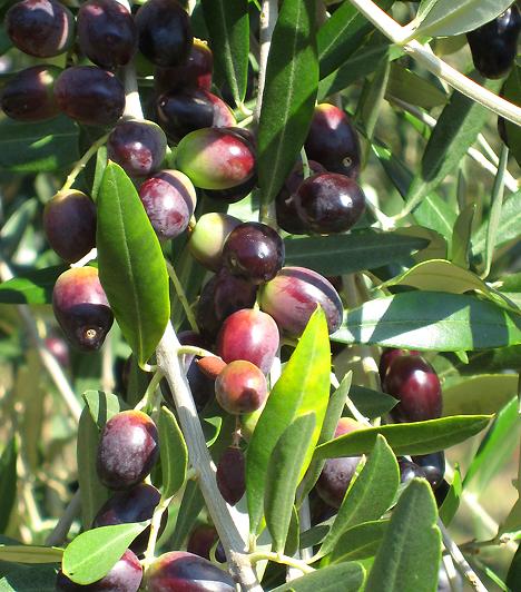 OlívabogyóA mediterrán eredetű zöldségféle az olívafa termése. A zöld és fekete bogyók fogyasztása serkenti az emésztést, emellett segítségükkel a fogyókúra szempontjából is igen hasznos esszenciális zsírsavakat juttatsz be szervezetedbe.
