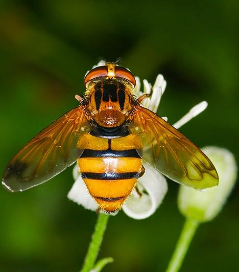 Rovarcsípés-allergiaManapság egyre gyakoribb gyerekek körében a rovarcsípések által kiváltott allergiás reakció. Ha csak bőrirritációs tünetei vannak a csemetédnek, nyaraláskor mindig legyen nálatok kalciumtabletta. Ennek az allergiának egy súlyosabb és ritkább formája a méhcsípés-intolerancia, mely fulladáshoz is vezethet. A darázs- és méhcsípésre allergiás kicsik szüleinél mindig kell lennie adrenalinnak, hiszen a légzésbénulás és a keringés leállása bármikor bekövetkezhet. Ám ma már vakcinakúrával, vagyis méregspecifikus immunterápiával is kezelhető.