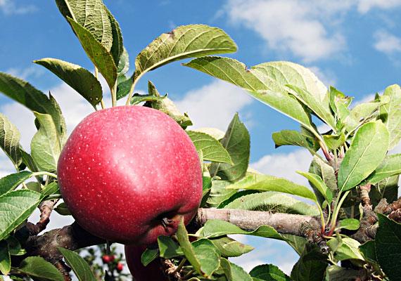 Piros alma csüng a fán, szakítsd le, te barna lány! Leszakítom, megeszem, mert az almát szeretem.