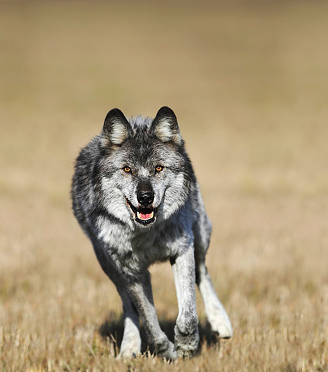 Farkas  Ha éjjelente farkas üldözi a gyermekedet, nem biztos, hogy csak a Piroska és a farkas mese zaklatta fel. A farkas az elemi, ösztönös agresszióra is utalhat, ha a gyereked elfojtott dühvel, bosszúvággyal küszködik legbelül. Ilyenkor a le nem vezetett méreg álmában üldözi farkas képében. Súlyosabb esetben egy közeli hozzátartozótól való félelmére utalhat. A mesében a farkas mindig erős, hatalmas és rossz, ezért a hasonló tulajdonságokat vele kötik össze a gyerekek. Lehet, hogy a gyerek úgy érzi, uralkodnak rajta, és fél kitörni, mert az illető fenyegető számára, mint egy vicsorgó farkas.