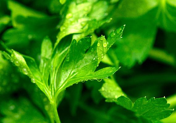 Amilyen hétköznapi zöldség a petrezselyem, olyan hatékony a különféle csípések esetén: alaposan moss meg egy kisebb csokornyit, és helyezd az érintett területre.