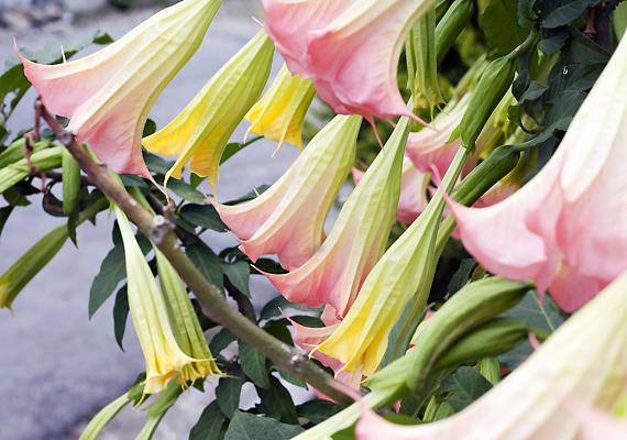 Bár az angyaltrombita - Brugmansia - nagy, színes, trombita alakú virága különösen csábító lehet a gyerek számára, tartsd tőle távol a kicsit, ugyanis a növény hallucinogéneket tartalmaz.