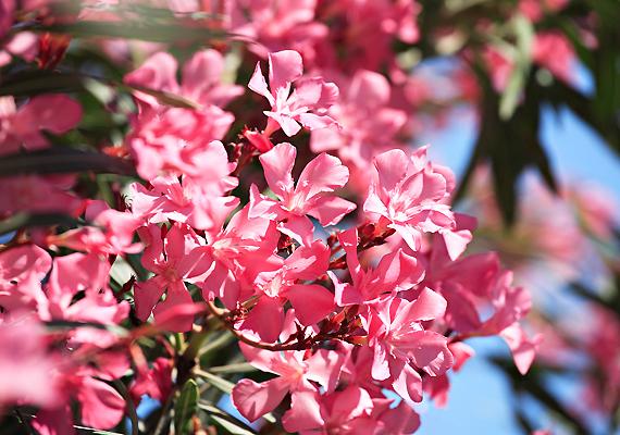 A leandercserjével - Nerium oleander - számos kertben és erkélyen lehet találkozni. A növény különböző részei alkaloidákat és glikozidokat tartalmaznak, amelyek a szervezetbe jutva hasmenést, hányást, fejfájást, súlyosabb esetben keringési zavarokat is okozhatnak.
