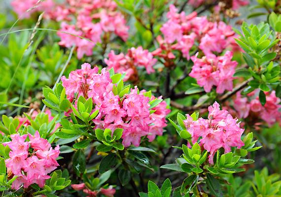 Hasonló a helyzet egy másik népszerű díszcserjével, a rododendronnal - Rhododendron.