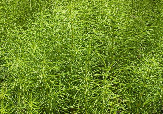 A mezei zsurló - Equisetum arvense - fokozza a szervezet ellenálló képességét. Így készíts belőle főzetet!