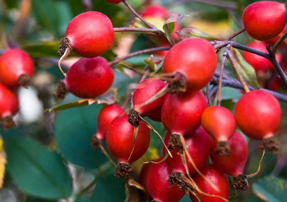 CsipkebogyóA csipkebogyó nagyanyáink által is ismert megfázás elleni növény volt, belőle finom tea készíthető, ám fontos, hogy nem forralva, mert akkor elveszti értékes C-vitamin-tartalmát. 100 grammjában akár 1700 milligramm C-vitamin is lehet. Mivel szép pirosas-narancssárgás a színe, a gyerek is szívesen megissza.