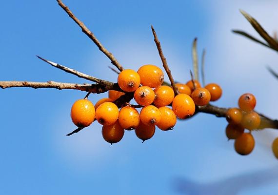 HomoktövisA homoktövis kész csodanövény, remek fegyver a megfázással szemben: 100 grammban 700-900 milligramm C-vitamin van. Frissen, aszalva vagy szörp formájában is fogyasztható. C-vitamin-tartalma mellett B-vitaminban is bővelkedik.