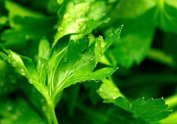 A petrezselyem az egyik legmagasabb vastartalmú zöldségféle, ezért érdemes minél többször beletenni az ételbe. Aprítsátok szendvicskrémbe, salátába!