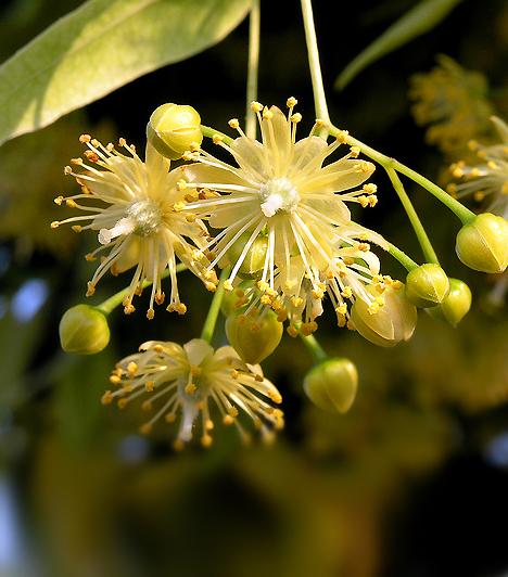 HársfaA hársfa virágzatából készült gyógytea remek izzasztó, lázcsillapító és immunerősítő. Hatékony gyógyszer lehet a hosszas lázzal járó gyerekbetegségek idején, mint a bárányhimlő vagy a rózsahimlő.Kapcsolódó cikk:A 3 leggyakoribb bölcsibetegség - Amit bármikor elkaphat »