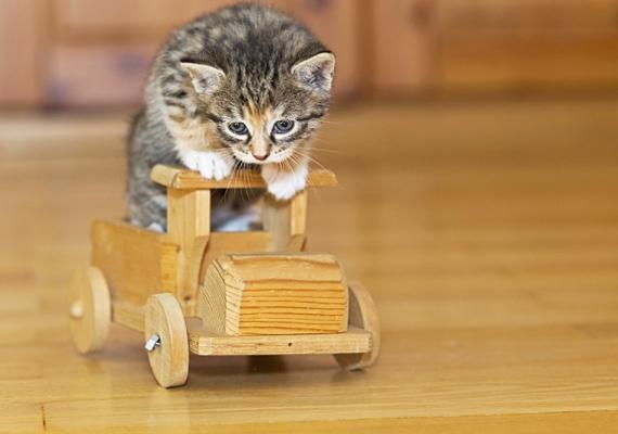 Ha már idősebb a gyerkőc, és nagyobb felelősség képes vállalni, akkor a macska is remek választás lehet. Ugyanakkor számolni kell azzal, hogy mélyebben a pénztárcádba kell nyúlnod, mint egy kisebb rágcsáló esetében, hiszen a macskatáp, az alom, illetve a rendszeres orvosi vizsgálatok, oltások nem túlzottan olcsók - bár, ahogy az állatvédők mondják, sok ember lényegesen többet költ úgymond felesleges dolgokra, mint amennyibe egy ilyen kis jószág etetése-gondozása kerül.