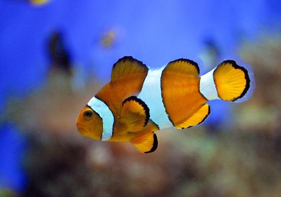 Ha még sosem volt állatotok, vagy a gyerek még nem elég idős ahhoz, hogy felelősséget tudjon vállalni egy több figyelmet igénylő házikedvencért, akkor jó választás lehet a hal. Nem igényel nagy etetési procedúrát, és az akváriumot is bőven elég heti egyszer tisztítani.