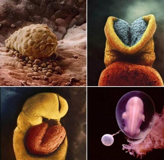 A megtermékenyített petesejt levándorol a petevezetéken, a sejtosztódás pedig nagy ütemben kezdetét veszi. A bal felső képen a méhfalra tapadt zigótát láthatod. A tőle jobbra lévő képen a fejlődésnek indult agyat tekintheted meg, balra lent pedig a fogantatás utáni 18. naptól dobogó szívet. A jobb alsó felvétel egy négyhetes magzat fotója.