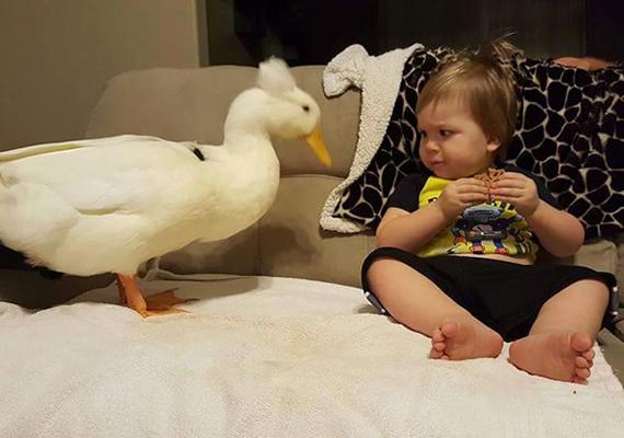 Amikor a kisfiú csemegézik, a kacsa huncut módon megdézsmálja, amit eszik, amint ő hátat fordít.