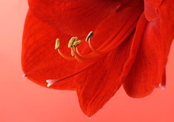 Az amarillisz - Hyppeastrum - a hagymájától kezdve a leveleken és a száron át egészen a virágáig mérgező, hányást, hasmenést, sőt, légzésbénulást is okozhat.