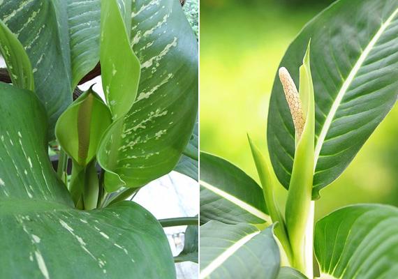 A buzogányvirág - Dieffenbachia - minden része mérgező, nedve a nyálkahártyát izgatja, ezért vigyázz, nehogy a gyerkőc véletlenül letépje a levelét.