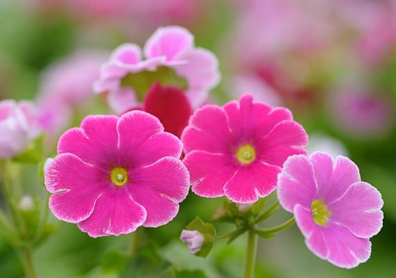 A szobai kankalin - Primula - vidám színei vonzzák a kicsiket, azonban a levelei, sőt, maga a hajtás is mérgező hatású.