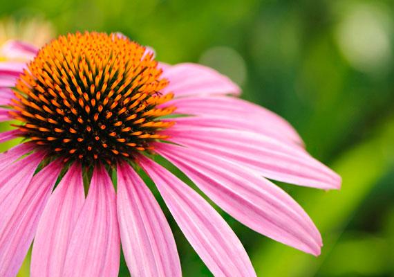 A kasvirág - Echinacea - kivonata támogatja a szervezet védekezőképességét. Gyógynövényboltokban, gyógyszertárakban kapható.