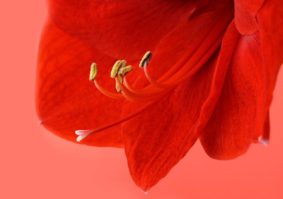 AmarilliszA gyönyörű növény sajnos ártalmas lehet lenyelve: gyökere, szára, levele és virágzata is mérgező hatású. Hányást, hasmenést, de még komolyabb bajt, akár légzésbénulást is okozhat.