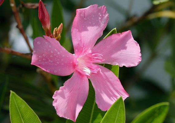 Leander - Nerium oleanderA trópusi hangulatot idéző növény nagyon mutatós, ám sajnos mérgező, nem is akármennyire. A régi időkben méregként is felhasználták részeit. Hányást, hasmenést, fejfájást, és keringési zavarokat okoz.