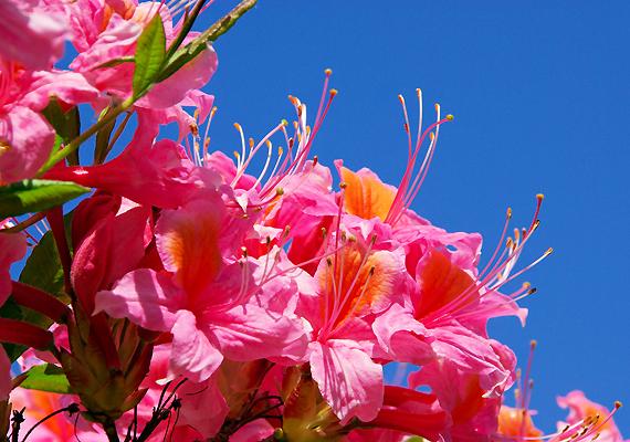 AzáleaA szemet gyönyörködtető azálea virága andromedotoxin-tartalma miatt bénulást , sőt, akár halált is okozhat.
