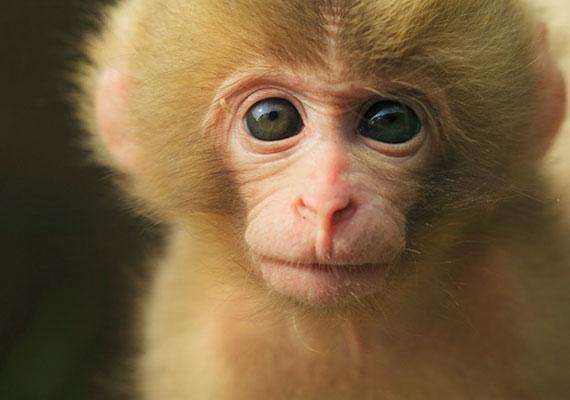 Ha a gyerek az állatkertben vagy a tévé képernyőjén ugrándozó majmokat imádja, valószínűleg ő is igazi mókamester, aki szeret a figyelem középpontjában lenni. Ez azonban ne tévesszen meg, lurkód a humorérzékét gyors észjárásának és kivételes intelligenciájának köszönheti.