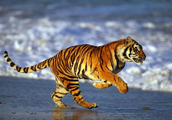 Ha a gyerkőc a tigriseket szereti a legjobban, bátor, harcias személyiség, aki vezetésre termett. Megvan benne az agresszióra való hajlam, és csak a nevelésen múlik, hogy ezt jelleme javára vagy rovására kamatoztatja-e.