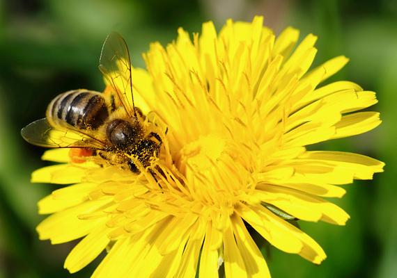 A méhcsípés allergiát válthat ki, ami akár fulladáshoz is vezethet.