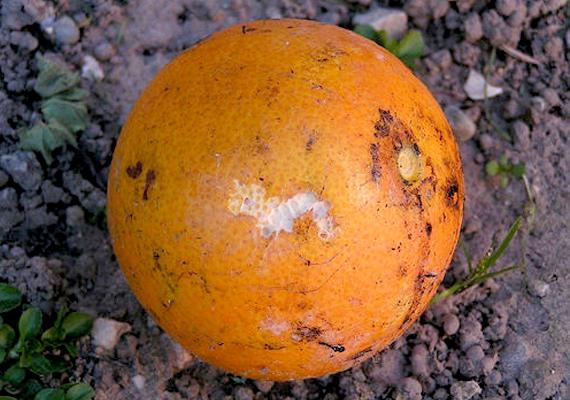 Narancs                         A narancs, a citrom és egyéb citrusfélék héja nem mindig makulátlan, ez viszont intő jel lehet. Nem feltétlenül szállítás közben sérült meg ugyanis a gyümölcs - noha az sem túl kecsegtető, tekintve, hogy milyen messziről jött -, hanem a gyümölcs rohadásának első jele is a barnuló héj. Az se nyugtasson meg, hogy meghámozod, jobb nem megenni, az íze sem lesz az igazi!