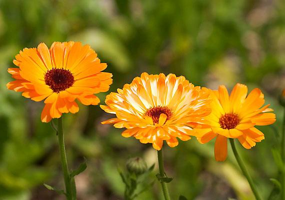 A gyulladáscsökkentő körömvirág ugyancsak méhösszehúzódásokat okozhat, ezért várandósság idején legfeljebb külsőleg alkalmazható.