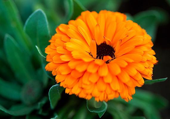 A körömvirág univerzális gyógyír: virága és levele egyaránt sebgyógyító, fertőtlenítő, gyulladásgátló hatással rendelkezik. A fentieknek köszönhetően a körömvirágból készült krém egyebek mellett az aranyeres panaszokat is nagymértékben enyhíti, illetve el is mulaszthatja.