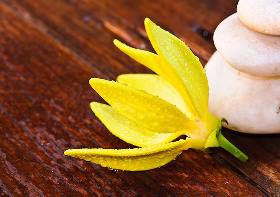 Az ilang-ilang csak fokozza ezt a hatást. Egy deci szőlőmagolajba keverj öt-tíz csepp ilang-ilang olajat, és használd ezt estenként - nemcsak az eredmény lesz szebb, hanem az ily módon nyert dekoltázsápolónak az illata is mennyei.