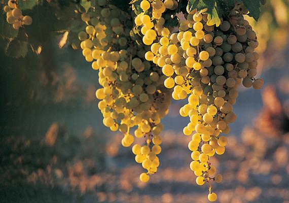 A szőlőpakolás ez idő tájt meglehetősen drága lenne, de a szőlőmagolaj szerencsére egész évben rendelkezésedre áll - számos jótékony hatásával egyetemben. Serkenti a kollagéntermelést, így feszesen tartja a kötőszövetet. Minden este használd a dekoltázsodra.