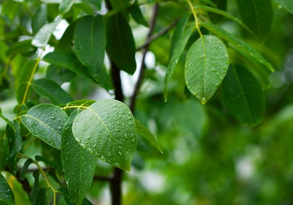 Szintén tévhit, hogy a vérszívók a fák levelein megpihenve, a magasból lesnének áldozataikra. A kullancsok általában a fűszálak és a bokrok, cserjék leveleinek fonákján várakoznak, így különösen fontos, hogy alul zárt ruhába öltöztesd a kicsit. Bár a felnőtteket a kalap általában nem védi meg a kullancscsípéstől, mivel a gyerekek alacsonyabbak, számukra ez is elengedhetetlen.
