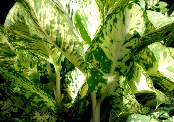 A buzogányvirág - Diffenbachia - az egyik legmérgezőbb szobanövény. A benne lévő oxálsav és más mérgező anyagok nyálkahártya-irritációt, szájduzzanatot, nyelési és beszédnehézséget okoznak.