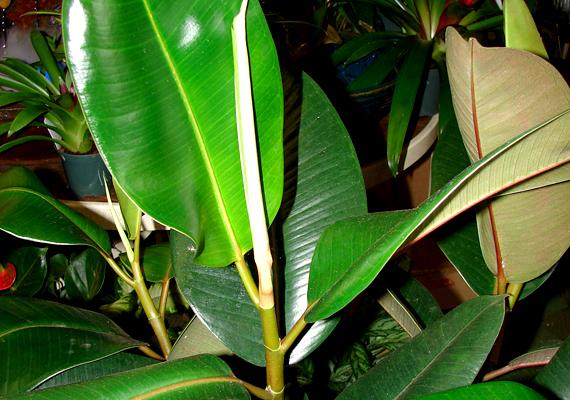 A fikusz - Ficus elastica - leveleiben és szárában lévő tejnedv mérgező. Fulladást okozhat, illetve hányást, hasmenést, emésztési panaszokat is, így jobb nem nevelgeti ilyet kisgyerekes családban.